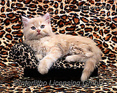Xavier, ANIMALS, REALISTISCHE TIERE, ANIMALES REALISTICOS, cats, photos+++++,SPCHCATS906,#a#, EVERYDAY