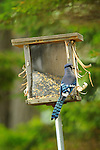 Moosehead Lake, ME. Blue jay on bird feeder.