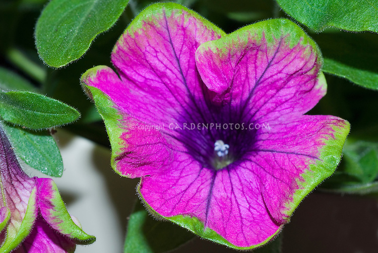 Petunia Supertunia Pretty Much Picasso new variety lavender pink with green edge picotee novelty unusual colored annual flower in purple with green edge, two toned effect