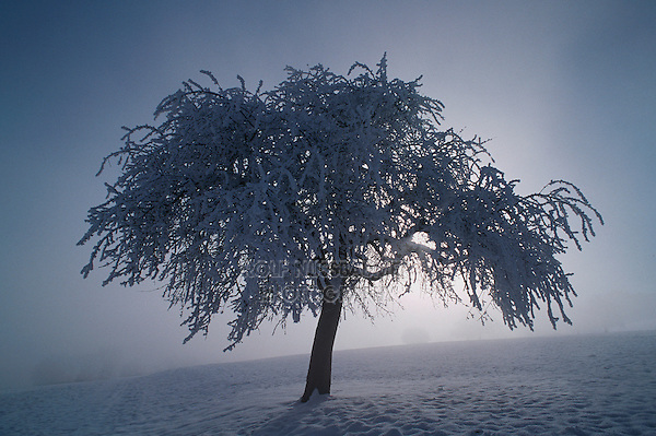 Bare tree with frost in winter, Switzerland