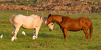 Horse hug: Two horses show affectionate companionship in Waimea, Hawai'i Island; white cattle egrets also make themselves comfortable.