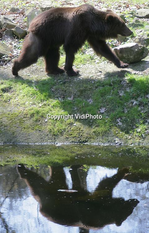 Foto: VidiPhoto..RHENEN - Ouwehands Dierenpark in Rhenen heeft sinds donderdag een mensendoder in het Berenbos rondlopen. De Russische circusbeer Dadon werd donderdag voor het eerst losgelaten in het Berenbos. De jonge mannetjesbeer zorgde jarenlang voor het vermaak van de kinderen in Moskou. In december 2003 doodde Dadon zijn verzorger. Om te voorkomen dat het dier uit wraak werd gedood kwam het in oktober 2004 naar Rhenen. Tot donderdag heeft de circusbeer al die tijd in het binnenverblijf gezeten.