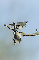 Black-crested Titmouse (Baeolophus atricristatus), pair on branch, Starr County, Rio Grande Valley, Texas, USA
