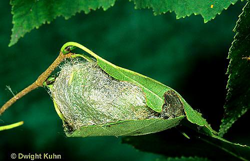 LE14-007x  Luna Moth - newly made cocoon - Actias luna