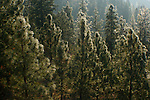 Idaho, Coeur d' Alene. A hillsdie covered in Ponderosa Pine sparkles as the morning light touches its frosted needles.