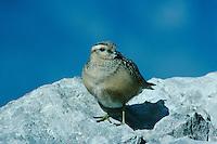 Eurasian Dotterel, Charadrius morinellus, immature, Cassonsgrat, Alps, Switzerland, September 1995