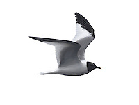 Sabine's Gull Larus sabini L 30-35cm. Distinctive seabird. Can only be confused with juvenile Kittiwake but upperwing patterns are separable with care. Sexes are similar. Adult in summer has blue-grey back and upperwings, dark hood, dark wingtips with white spots and dark bill with yellow tip. In flight, upperwing pattern is diagnostic: triangular patches of black, white and grey. Tail is forked. In winter, similar but dark smudges on nape replace dark hood. Juvenile has a upperwing pattern to adult but triangle of grey replaced by scaly grey-brown. Forked tail is dark-tipped. Voice Silent. Status Nests in high Arctic and winters at sea in southern oceans. Seen here mainly as offshore passage migrant in autumn. Does not willingly come close to land.