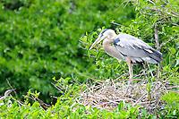 Blue Heron guarding the nest. Photographed at Wakodahatchee Wetlands, Delray Beach, Florida.