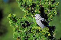 Clark's Nutcracker sitting in whitebark pine tree.  Pacific Northwest.  Summer.  Clark's nutcracker has a close association with whhitebark pines--feeding heavily on its seeds which it often stores in the ground.   Many seeds are forgotten and thus become new trees.