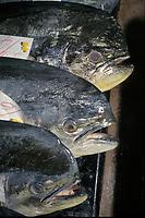commercial fishing, dolphinfish, mahi mahi or dorado, Coryphaena hippurus, United Fish Agency auction, fish market, Oahu, Hawaii, Pacific Ocean