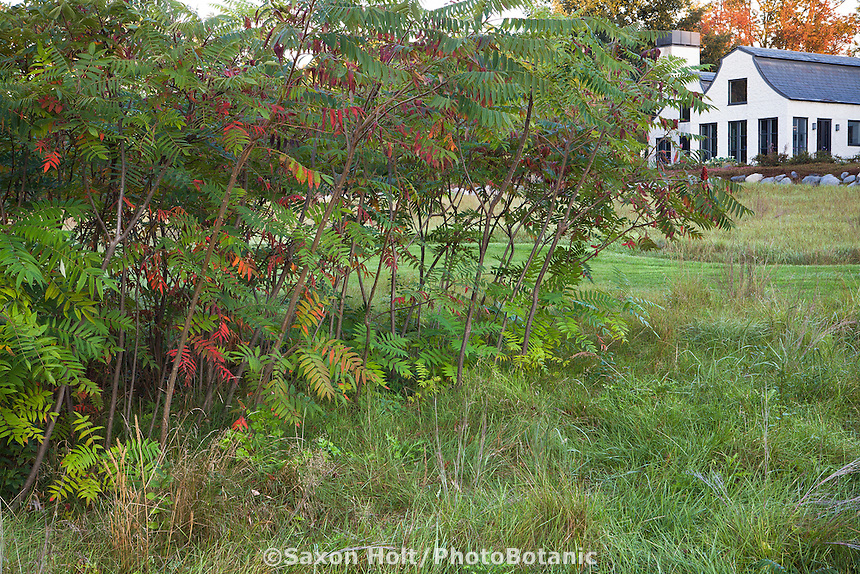 Sumac shrub (Rhus typhina) in meadow garden