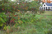 Sumac shrub (Rhus typhina) in meadow garden