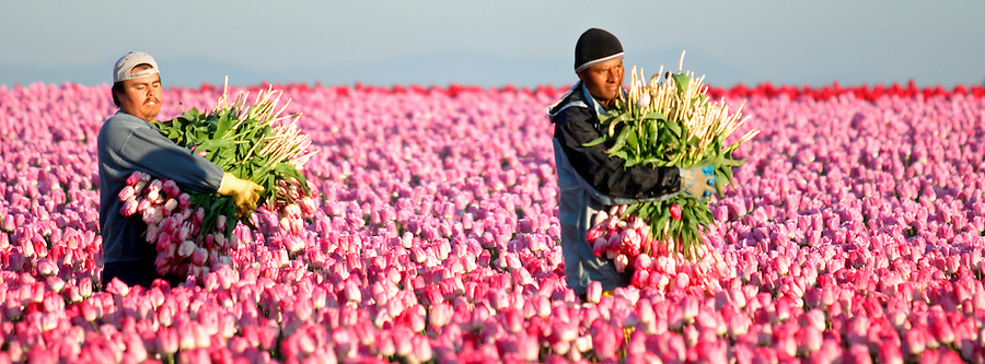 Men carrying bunches of tulips walking through field of pink tulips, Mount Vernon, Skagit Valley, Skagit County, Washington, USA