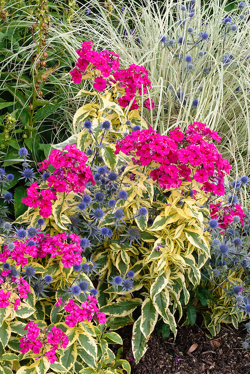 Eryngium planum Blaukappe & Phlox paniculata Goldmine with variegated foliage, plant combination in vivid neon pink magenta and blue flowers, with Miscanthus sinensis ornamental grass at rear 2-4-1 several plants together. Intro