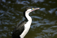 Pied Cormorant at Tauranga, New Zealand