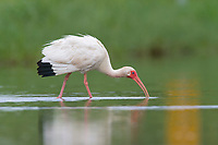 Lightly oiled adult White Ibis (Eudocimus albus) foraging. Plaquemines Parish, Louisiana. July 2010.