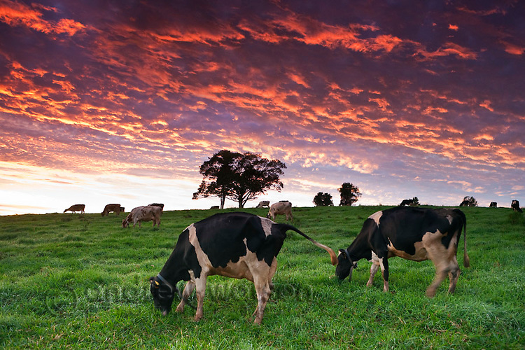 Dairy cows grazing in pastures at twilight.  Millaa Millaa, Atherton Tablelands, Queensland, Australia