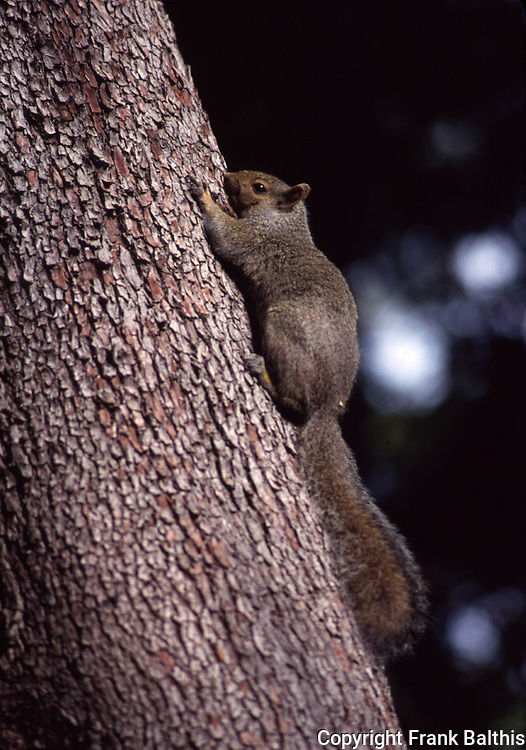 Gray squirrel on madrone