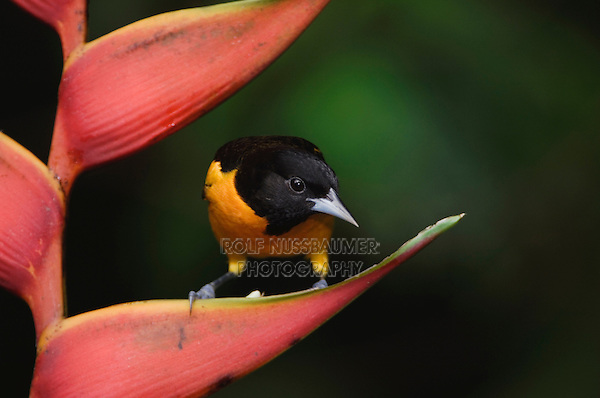 Baltimore Oriole, Icterus galbula, male perched on Heliconia, Central Valley, Costa Rica, Central America, December 2006