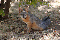GRAY FOX RESTING IN THE SHADE