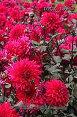 Gisela, FLOWERS, BLUMEN, FLORES, photos+++++,DTGK1961,#f#