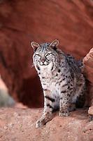 Portrait of a bobcat (Felis rufus) standing on a snastone promontory. Utah.