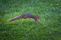 An Eastern Fox Squirrel, in mid-leap, bounding through the grass at the San Leandro Marina Park along San Francisco Bay.