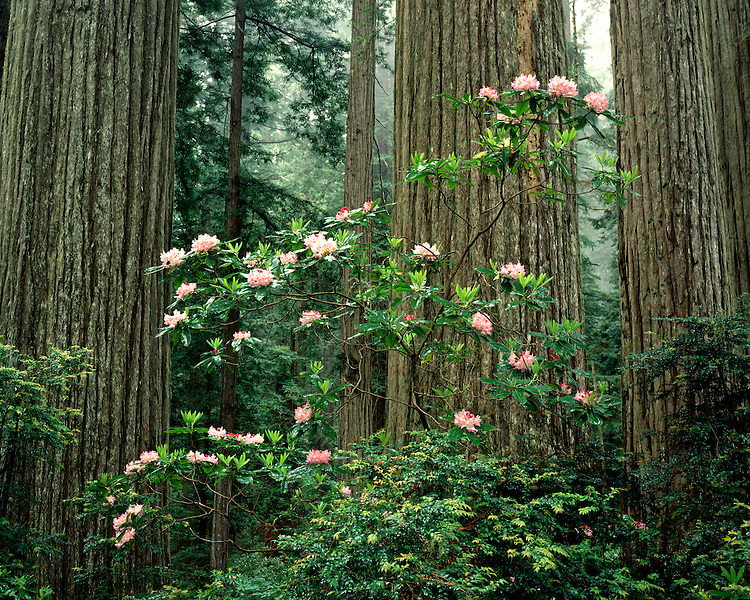 Rhododendrons and Redwood trees on the Damnation Creek Trail; Redwood National Park, CA