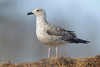 Immature, 1st winter Lesser Black-backed Gull (Larus fuscus). Tompkins County, New York. February.