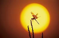 Halloween Pennant, Celithemis eponina, adult at sunrise, Welder Wildlife Refuge, Sinton, Texas, USA