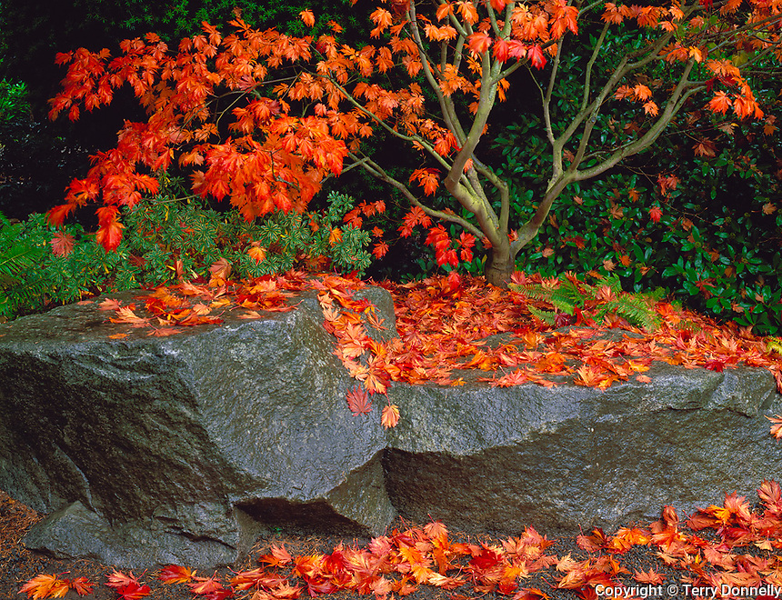 Seattle, WA<br /> Spreading branching structure of a Japanese maple in fall with fallen leaves decorating large stone slabs at its base