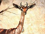 Male Gerenuk, Samburu