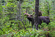 Franconia Notch State Park - Moose eating twigs on the side of Lonesome Lake Trail in the White Mountains, New Hampshire USA.