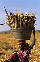 Millet harvesting