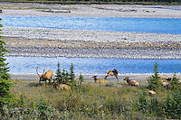 Rocky Mt. Elk (Cervus elaphus) herd--bull with harem in fall--resting along mountain river.  Northern Rockies.