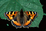 Small Tortoiseshell Butterfly, Aglais urticae, adult with wings open