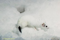 MA06-135x  Short-Tailed Weasel - exploring for prey in winter, camouflagued - Mustela erminea