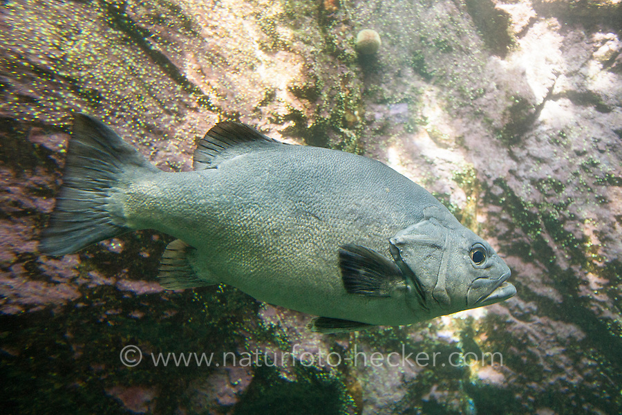Wrackbarsch, Atlantischer Wrackbarsch, Wrackfisch, Polyprion americanus, Wreckfish, Wreck-fish, Wreck fish, Bass groper, Cherna, Wreck bass