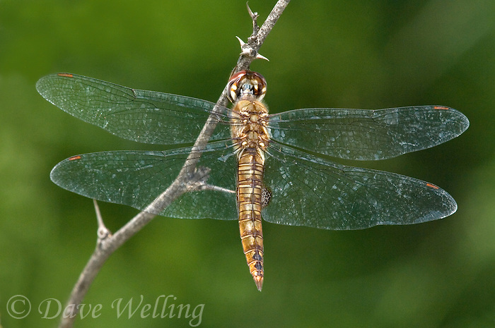 342950002 a wild male spot-winged glider dragonfly pantala hymenaea perches briefly on small twig at hornsby bend austin texas