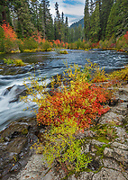 Rogue River National Forest, OR: Autumn colors of Indian rhubarb, willows and dogwoods on the basalt banks of the Rogue River. This region is part of the Rogue-Umpqua Scenic Byway.