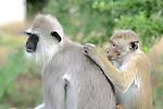 Hanuman Langur & Toque Macaque Grooming