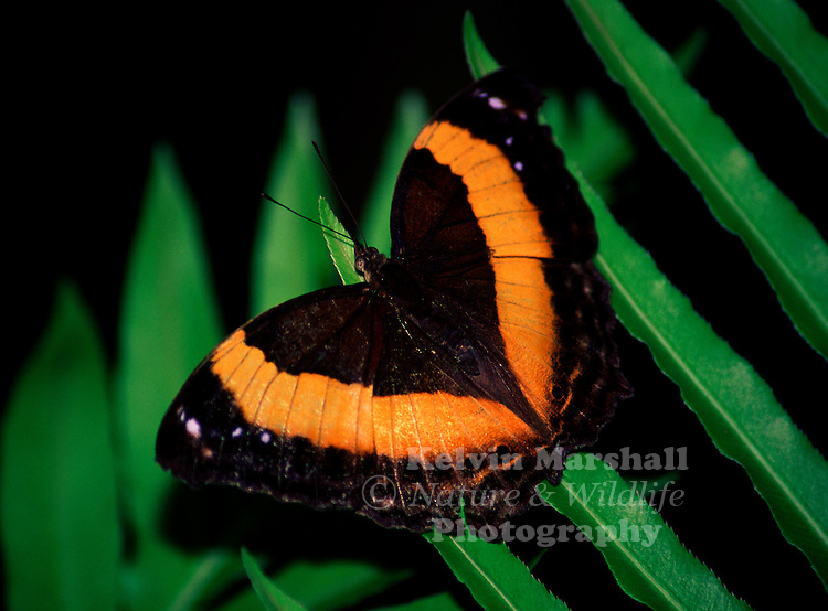 The Lurcher butterfly is dark brown above with broad orange band across both pairs of wings. The underside pattern is pale brown or brownish grey with a less distinct band. Female butterflies are slightly larger than males.