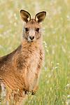 Eastern Grey Kangaroo (Macropus giganteus) juvenile, Mount Taylor Nature Reserve, Canberra, Australian Capital Territory, Australia