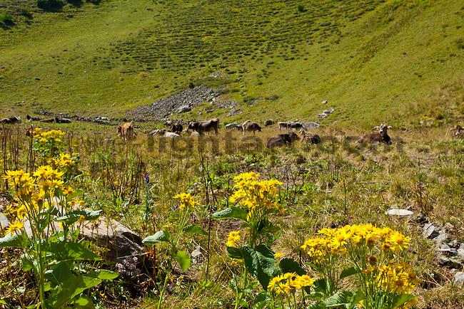 Gämswurz, Doronicum species, Rinder auf der Weide, Lawenatal, Triesen, Liechtenstein.