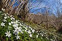 Wood Anemones {Anemone nemorosa} growing on woodland floor. Peak District National Park, Derbyshire, UK. April.