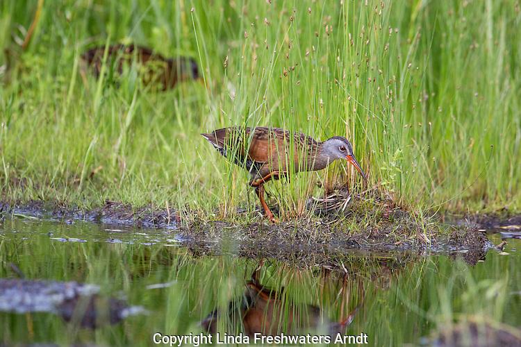 Virginia rails foraging for food