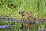 Virginia rails foraging for food