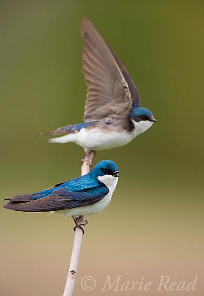 Tree Swallows (Tachycineta bicolor) pair, with one taking flight from perch, New York, USA