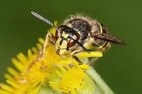 Median Wasp - Dolichovespula media