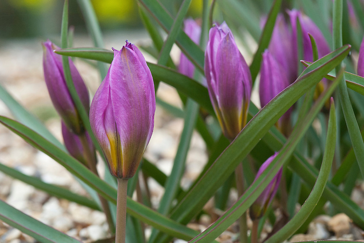 Dwarf tulip (Tulipa humilis), early March.